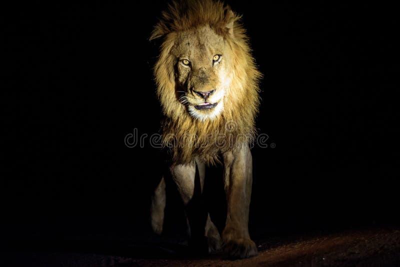 Acercamiento masculino del león fotografía de archivo libre de regalías