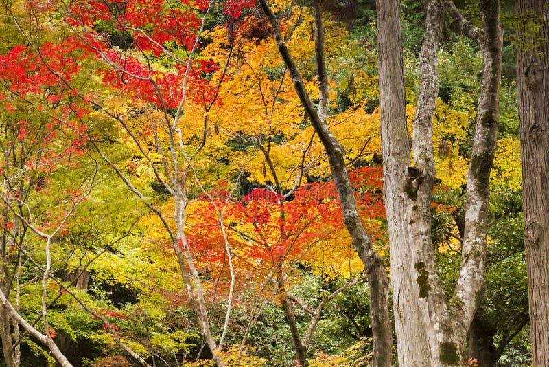 Aceri giapponesi nel colore di autunno fotografia stock for Aceri giapponesi