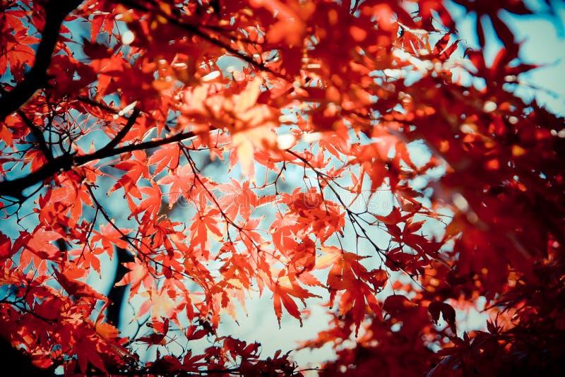 Aceri rossi in autunno a Mt.Takao, Giappone immagini stock