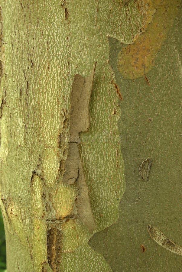 Acerifolia de Platanus, usines d'allergènes photographie stock