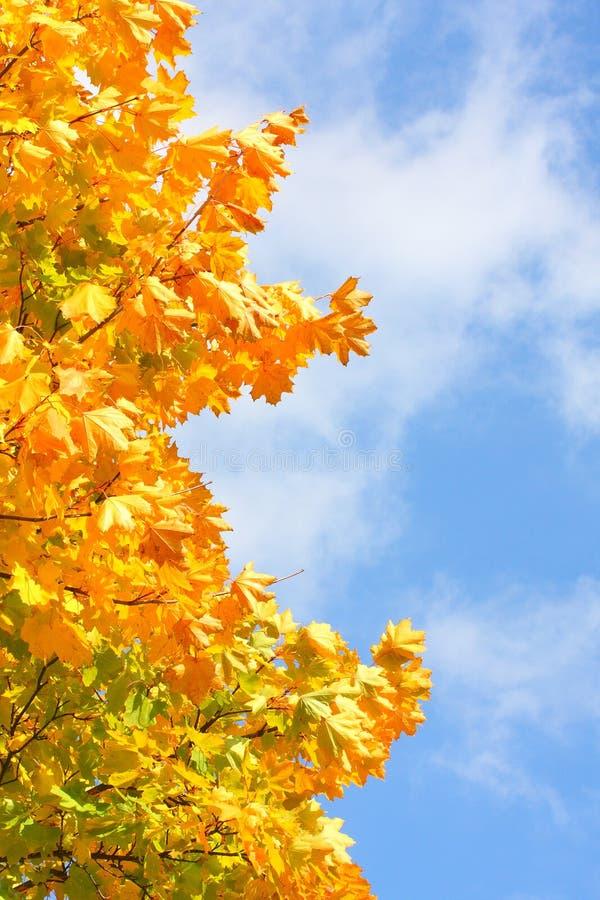 Acero da zucchero (saccarum di Acer). immagine stock