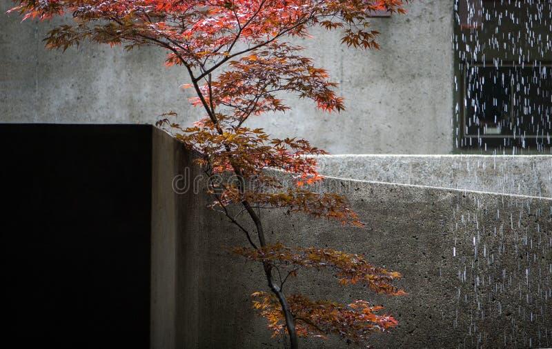 Acero giapponese ed acqua di caduta fotografie stock libere da diritti