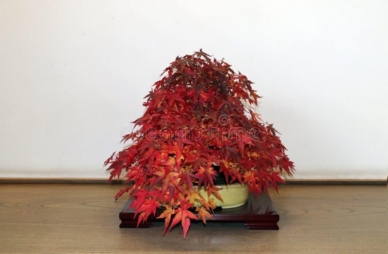 Download Acero Giapponese Rosso Dei Bonsai Sul Ramo Dellu0027albero Nel Vaso  Sulla Tavola Di