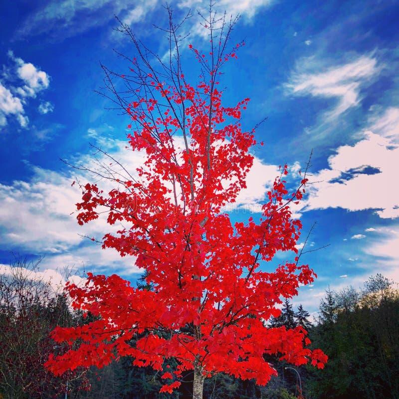 Acero rosso fotografie stock