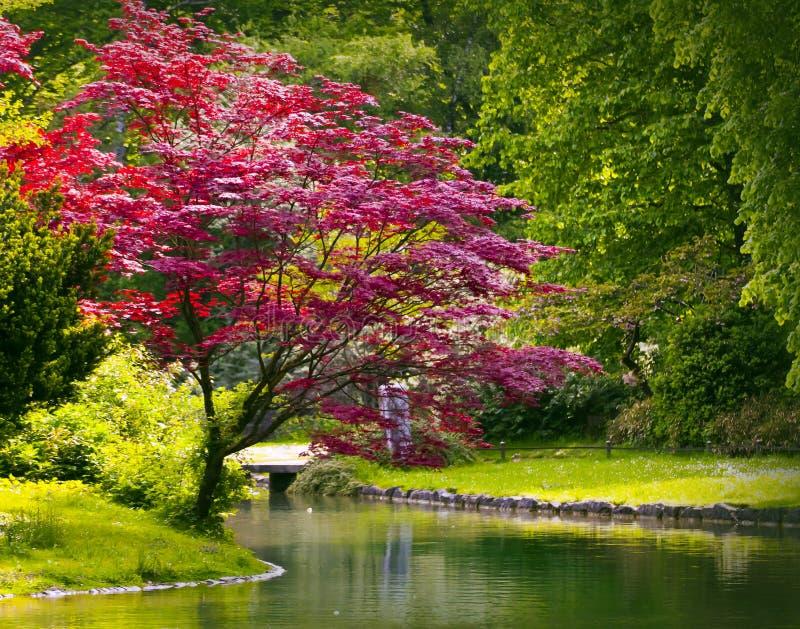 Acero rosso e stagno in giardino verde fotografie stock libere da diritti