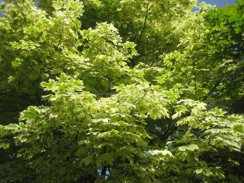 Acero verde. immagine stock