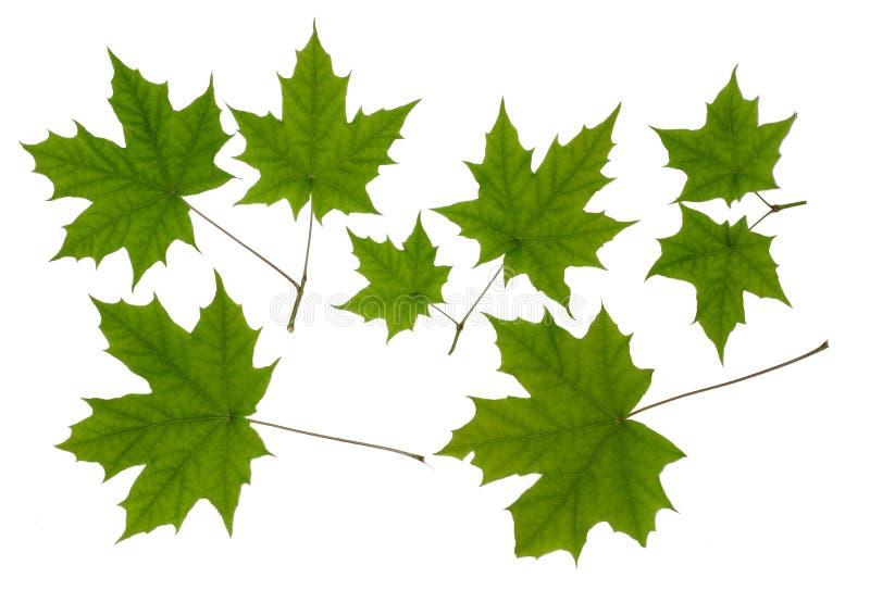 Acero verde della foglia immagini stock libere da diritti