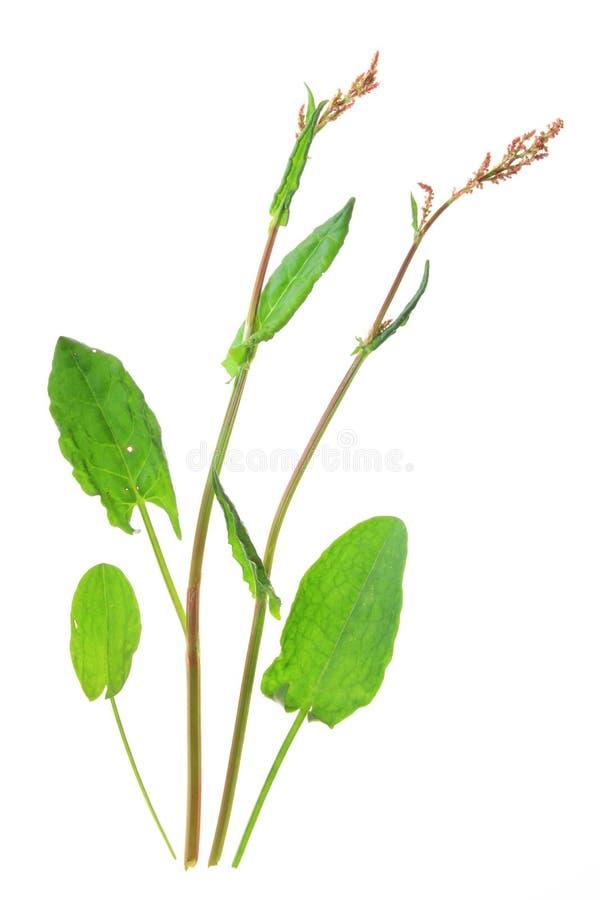 Acetosa (acetosa del Rumex) fotografia stock