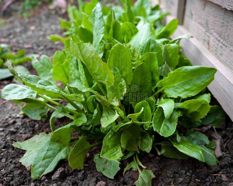 Acetosa comune, bacino degli spinaci, acetosa del Rumex, crescente nel giardino fotografia stock