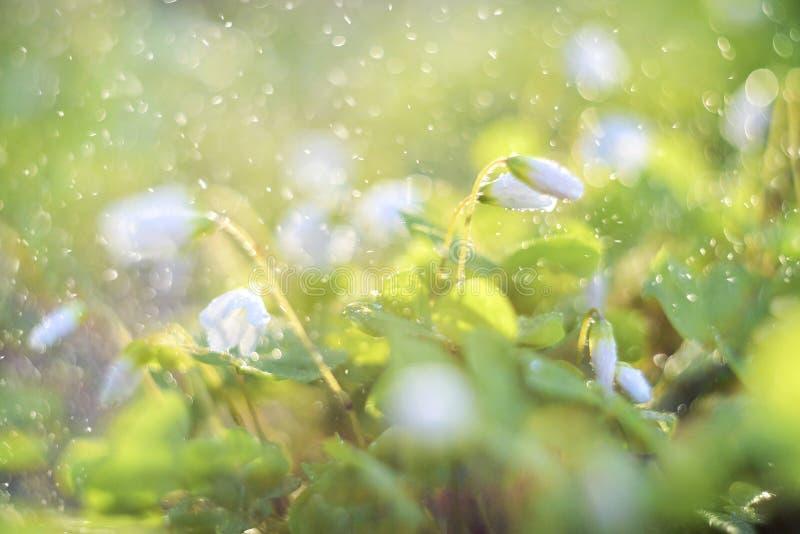 Acetosella d'Oxalis ou petites fleurs de forêt d'oxalide blanche petite oseille en gouttes de pluie de l'eau photo stock