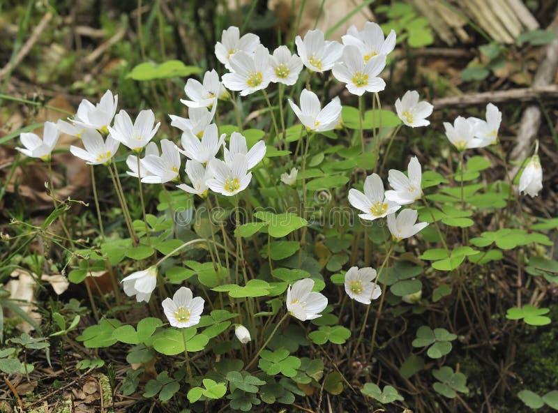 acetosella oxalis栗色木头 免版税图库摄影