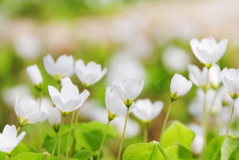 acetosella oxalis 免版税图库摄影