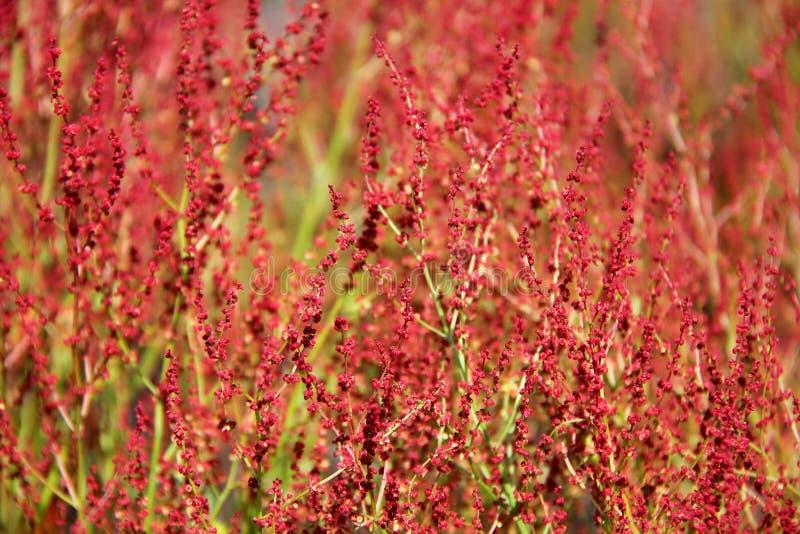 acetosella tła rośliny rumex zdjęcie stock