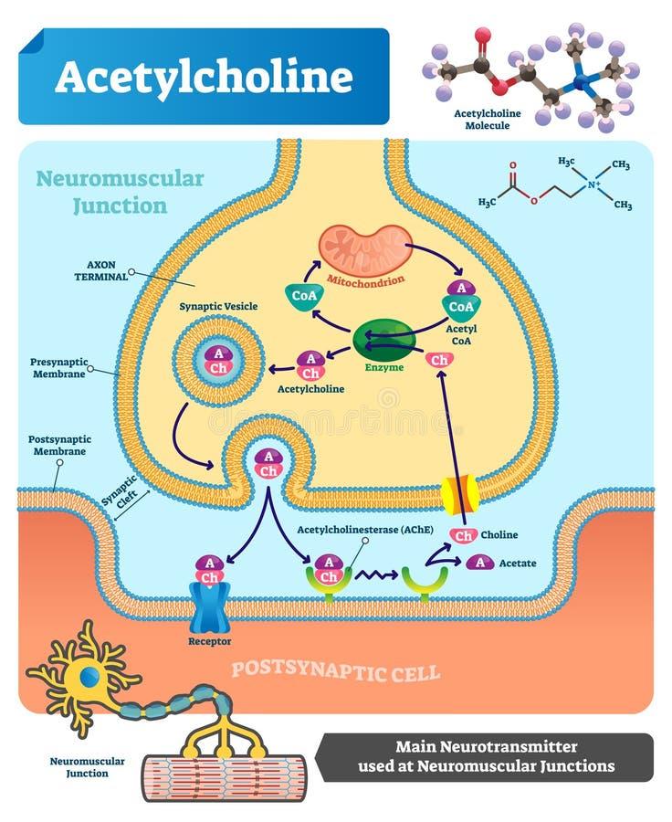 Acetylcholine vectorillustratie Geëtiketteerde regeling met neurotransmitter stock illustratie