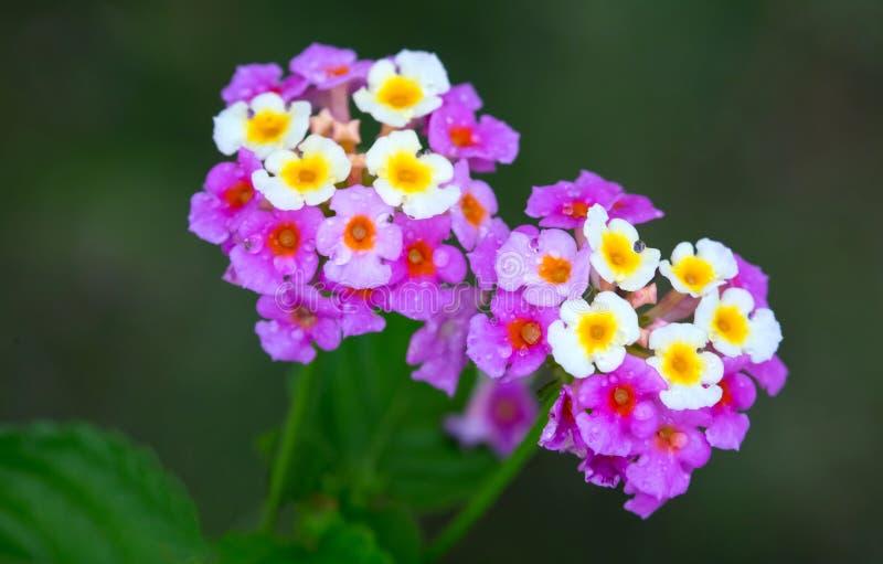 Achado bonito de Camara Flowers do Lantana em Jamaica fotos de stock