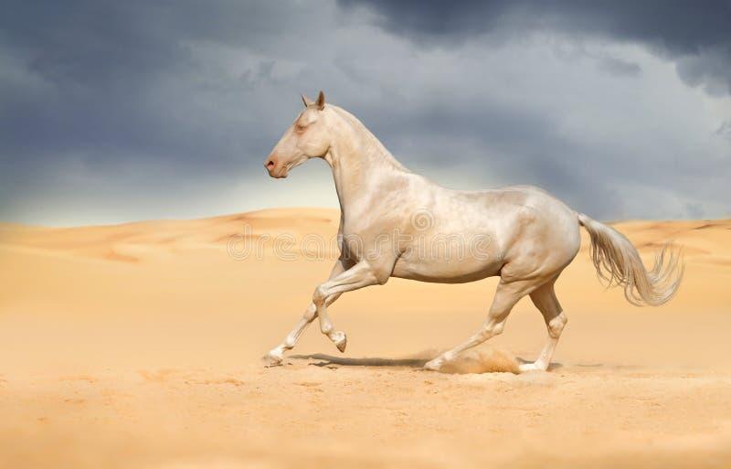 Achal -achal-teke de galop van de paardlooppas stock afbeeldingen