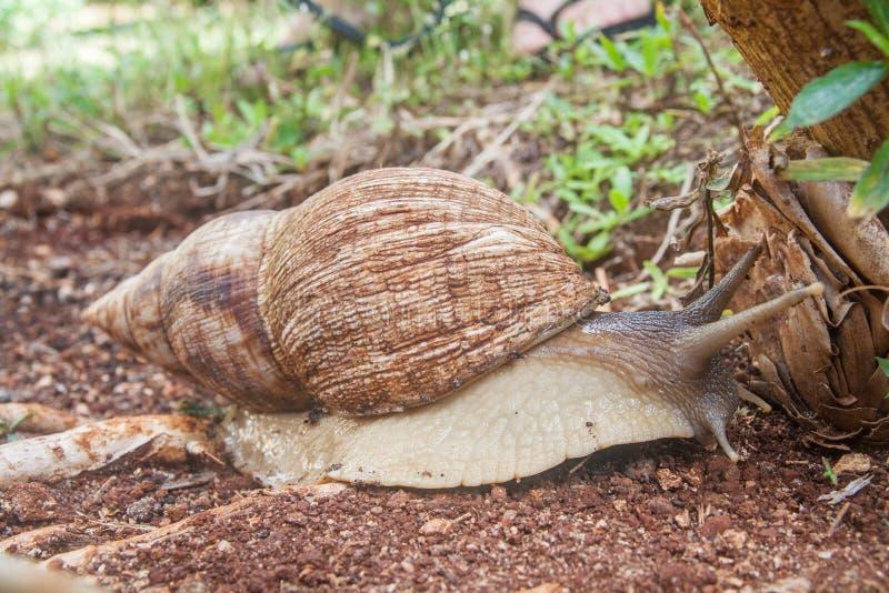 Achatina fulica - la lumaca di terra africana gigante che striscia sul suolo fotografia stock