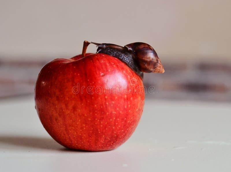 Achatina snigelkrypning på ett rött äpple royaltyfri bild