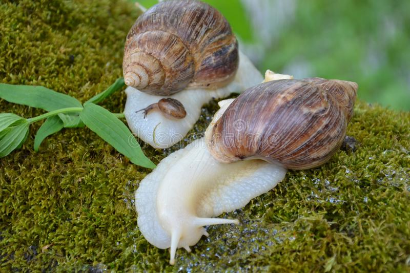 Achatina for a walk, Grape snail on the background of Achatina stock image