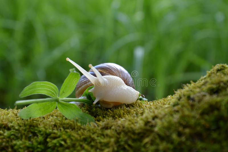 Achatina for a walk royalty free stock photo