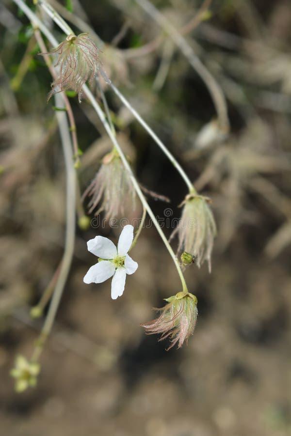 Ache plume. Flower and seed head - Latin name - Fallugia paradoxa stock image