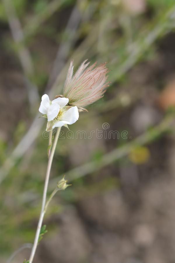Ache plume. Flower and seed head - Latin name - Fallugia paradoxa royalty free stock photography