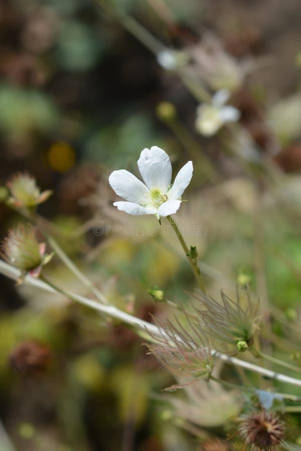 Ache plume. Flower and seed head - Latin name - Fallugia paradoxa royalty free stock photos