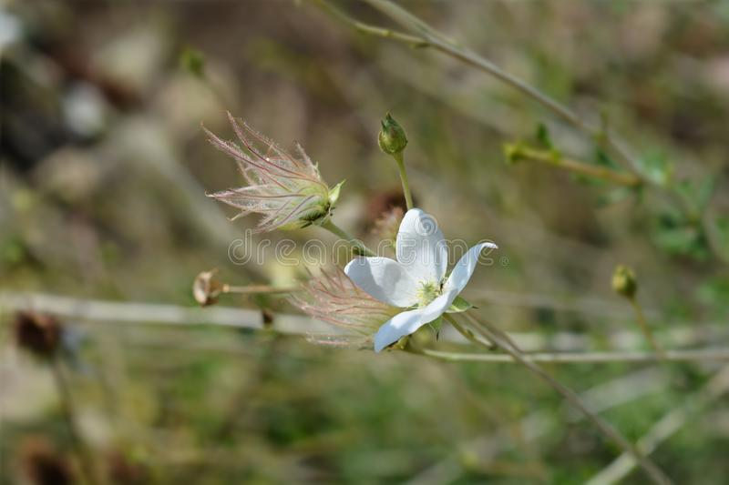 Ache plume. Flower and seed head - Latin name - Fallugia paradoxa royalty free stock images