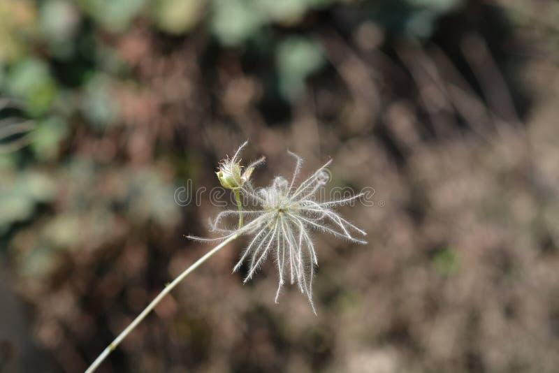 Ache plume. Seed head - Latin name - Fallugia paradoxa stock images
