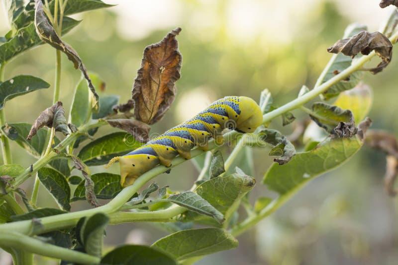Acherontia Atropos Caterpillar obrazy stock