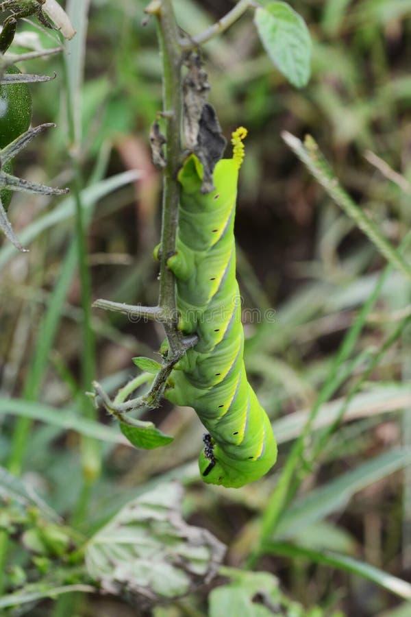 Acherontia lachesis larwa zdjęcia stock