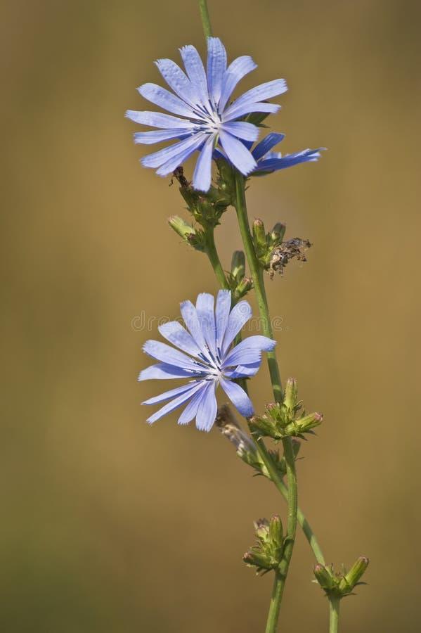 Download Achicoria imagen de archivo. Imagen de substituto, floración - 7278143