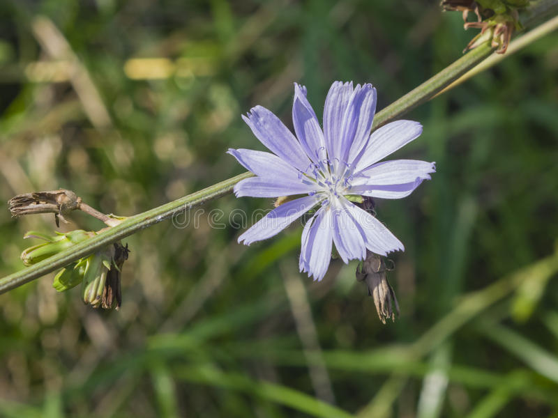 Achicoria común, intybus del Cichorium, flor en tronco con la macro borrosa del fondo, foco selectivo, DOF bajo fotografía de archivo