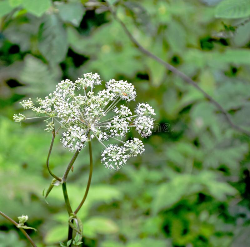 Achillea-blomma med partier av vita små blommor i skog arkivfoton
