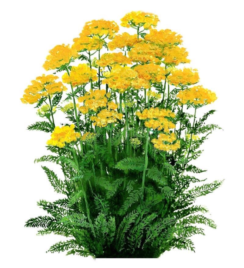 Achillea - geel duizendblad stock afbeeldingen