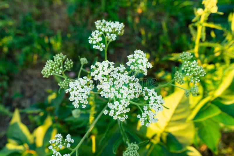 Achillea millefolium或欧蓍草白花与绿色叶子 免版税库存照片