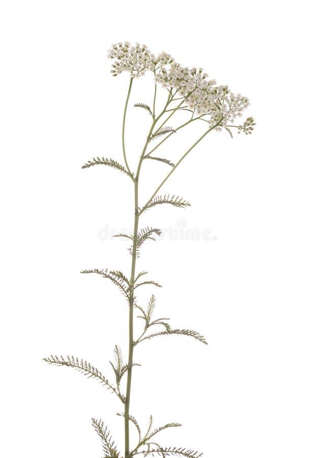 Download Achillea millefolium stock photo. Image of achillea, leaf - 16458224