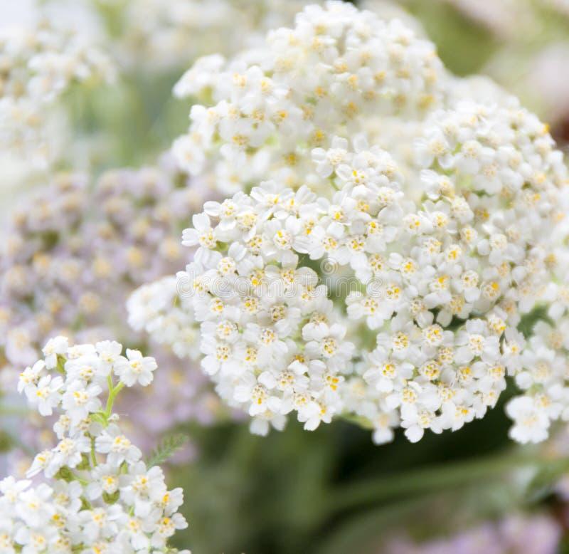 Achillea millefolium, conosciuto comunemente come millefoglio wildflower fotografia stock libera da diritti