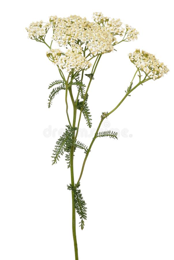 Achillea millefoliumblomma royaltyfri bild