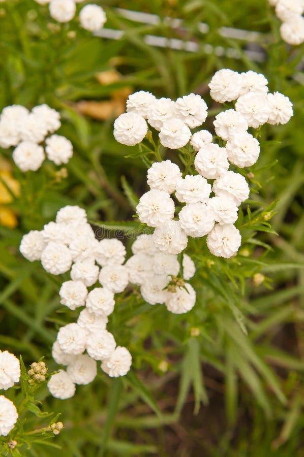 Achillea ptarmica royalty free stock photos