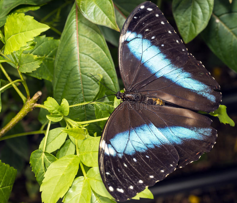 Download Achilles Morpho, Blue-banded Morpho Butterfly Stock Photo - Image: 29598334