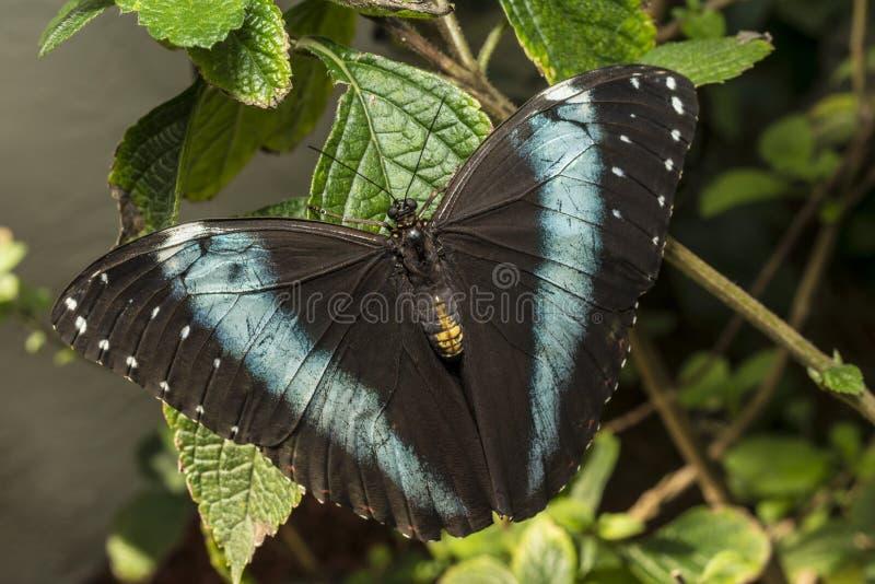 Download Achilles Morpho, Blue-banded Morpho Butterfly Stock Image - Image: 29598349