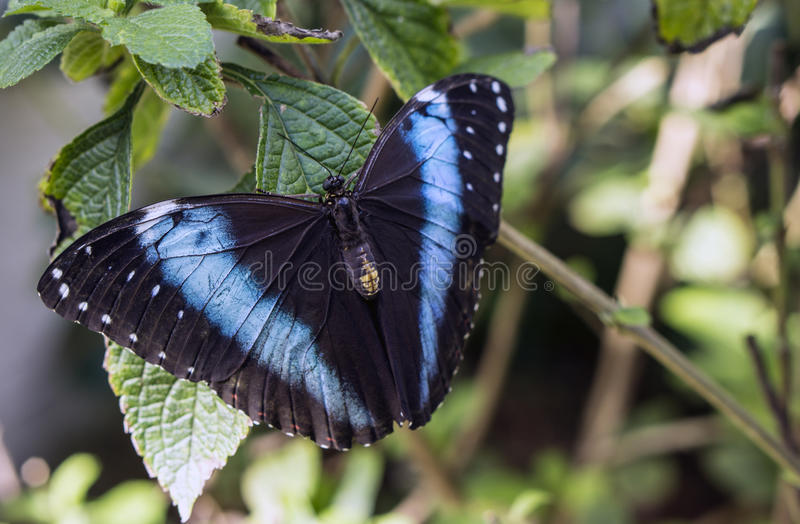 Achilles Morpho, Blue-banded Morpho butterfly royalty free stock images