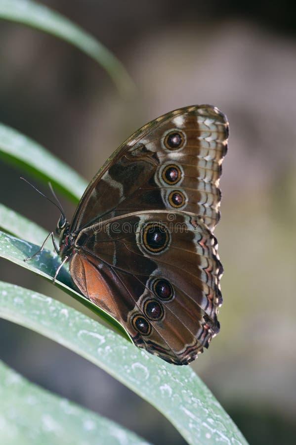 Achilles Morpho motyl zdjęcie stock