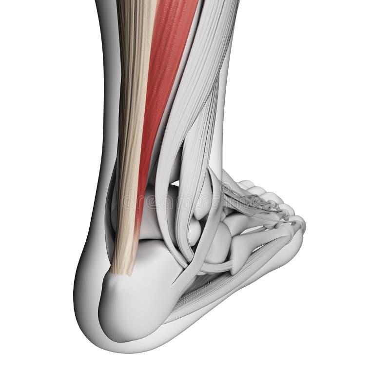 Achilles tendon royalty free illustration