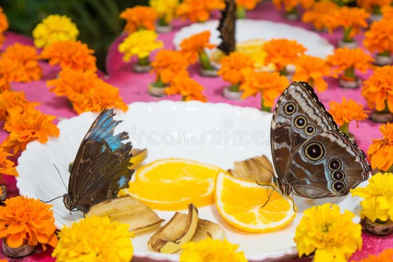 Achine di Lasiommata buttefly che mangia le arance immagine stock