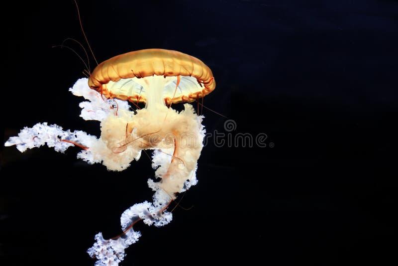 Achlyos Chrysaora медуз стоковое изображение rf