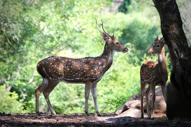Achsenrotwild oder beschmutzte Rotwild mit seinem Kitz in den Wäldern von Indien lizenzfreie stockfotos