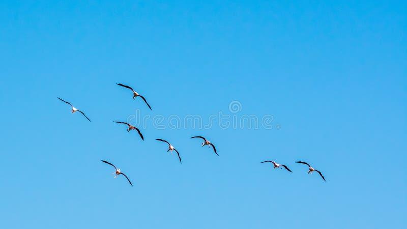 Acht Flamingos, die in den Himmel mit Flügelverbreitung fliegen lizenzfreie stockfotos