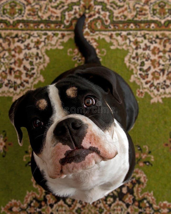Acht maanden puppy van Oude Engelse Buldog, in een close-up royalty-vrije stock fotografie